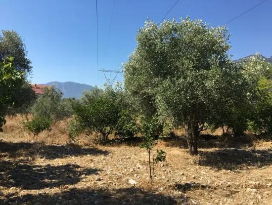 Köyceğiz Zeytinalanında Satılık Arazi