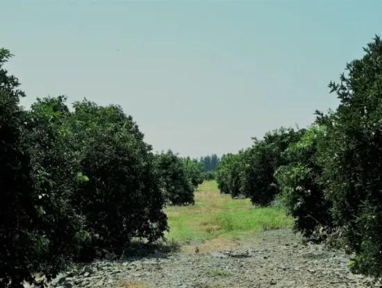 Tepearasında Satılık Kelepir Portakal Bahçesi